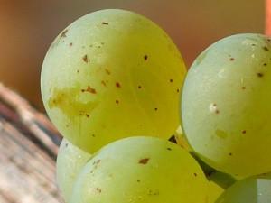 grape-11753_640